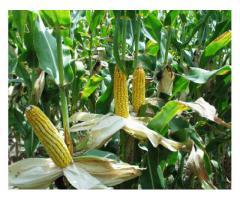 Trente deux (32) Hectares favorable à la culture de pastèque et des céréales