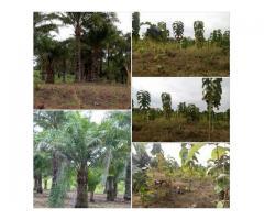 Sté BIOU SERVICES BENIN SARL met à votre disposition des parcelles de 500m2  palmiers et teckeraies